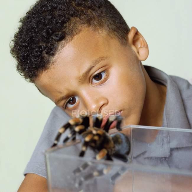 Araña tarántula de rodilla roja observada por el niño . - foto de stock