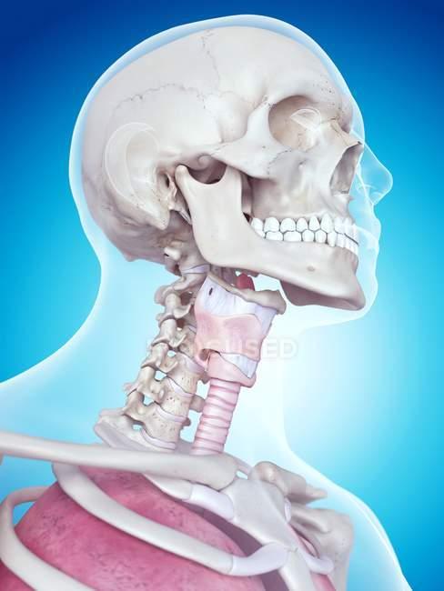 Анатомия гортани человека — стоковое фото