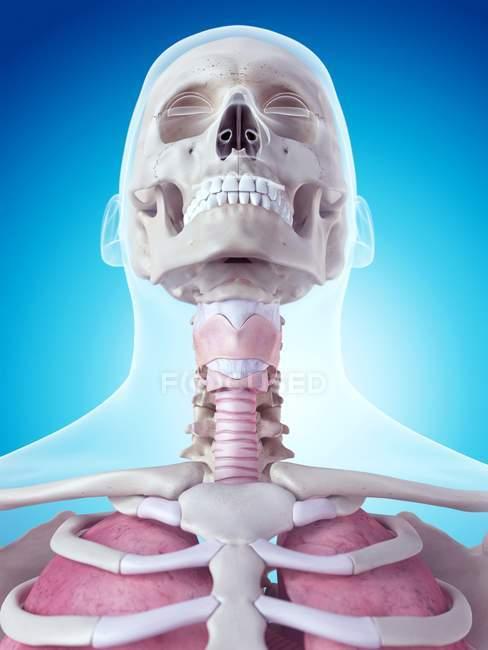 Menschlichen Kehlkopf-Anatomie — Stockfoto | #160560224