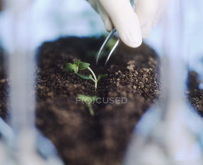 Científico sacando plántulas de trigo genéticamente modificadas . - foto de stock