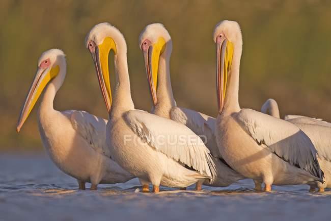 Aves pelícanos en agua. - foto de stock