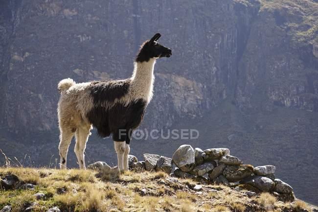 Llama standing on hill, El Choro, Bolivia — Stock Photo