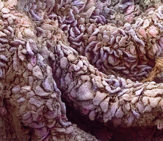 Zotten aus der Auskleidung des Jejunums — Stockfoto