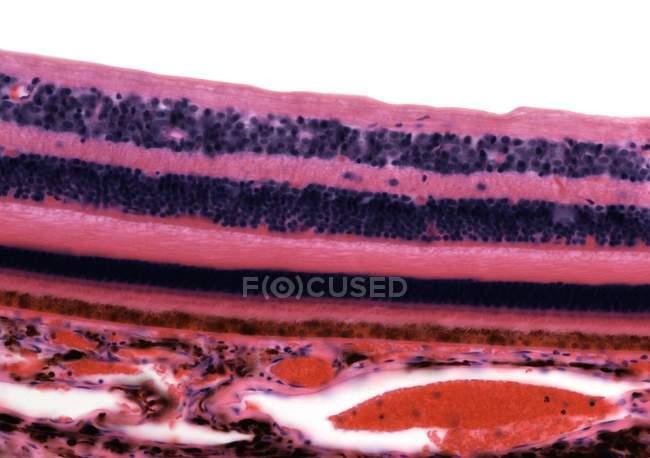 Retina. Micrografía ligera de una sección a través de la retina que muestra sus 10 capas . - foto de stock