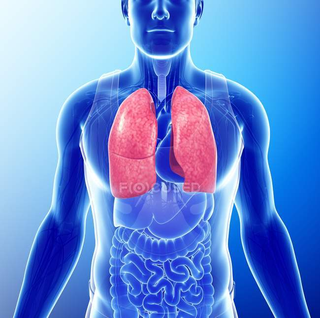 Healthy Lungs Anatomy Three Dimensional Blue Background Stock