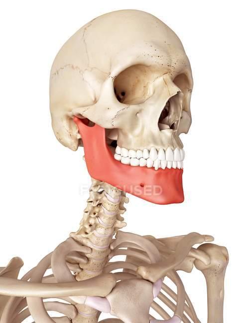 Human jaw bone anatomy — Stock Photo   #160561084