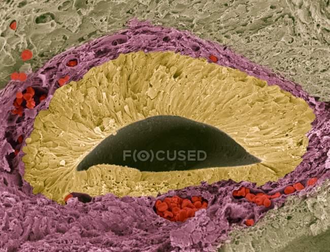 Micrografia eletrônica de varredura colorida (MEV) de uma seção através de um órgão sensorial olfatório fetal (cheiro) conhecido como órgão vomeronasal (VNO), ou órgão Jacobson . — Fotografia de Stock