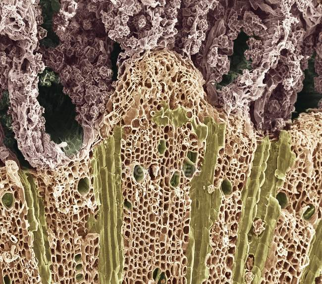 Coloured scanning electron micrograph (SEM) of  a section through wood showing the phloem vessels (dark green holes) and xylem tissue (lower frame). — Photo de stock