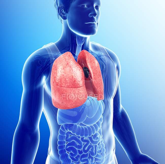 Healthy lungs anatomy — Stock Photo