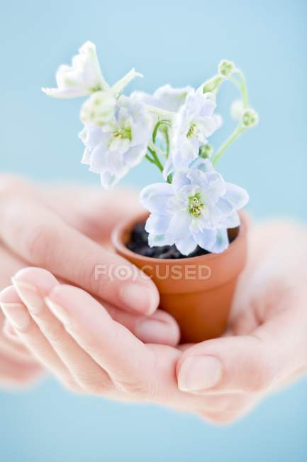 Manos femeninas sosteniendo la planta floreciente en maceta . - foto de stock