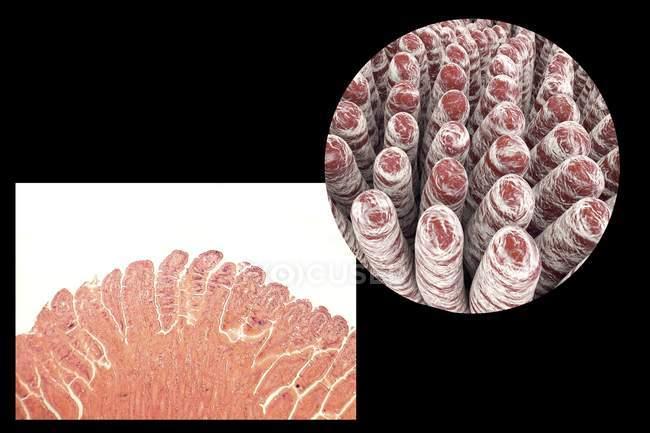 Projections des villosités intestinales — Photo de stock