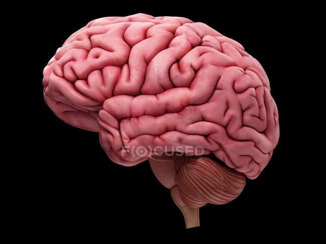 Corte transversal del cerebro humano - foto de stock