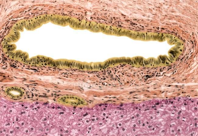 Estructura celular del conducto biliar - foto de stock