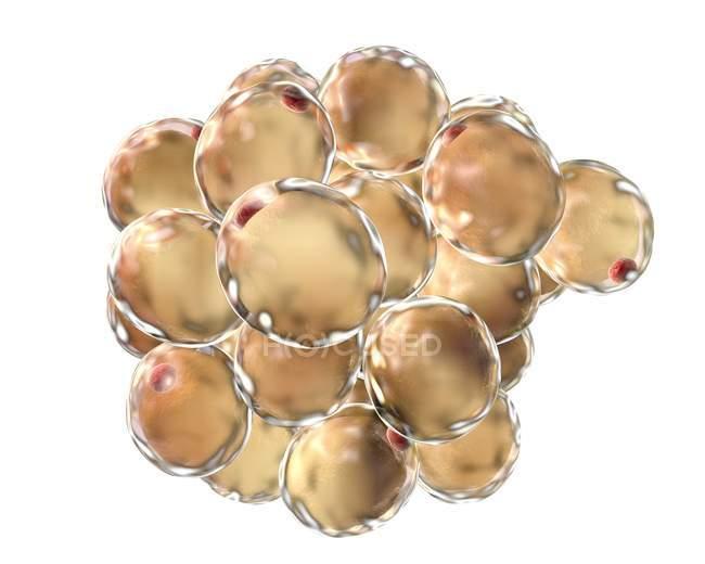Жировая ткань, состоящая из адипоцитов — стоковое фото