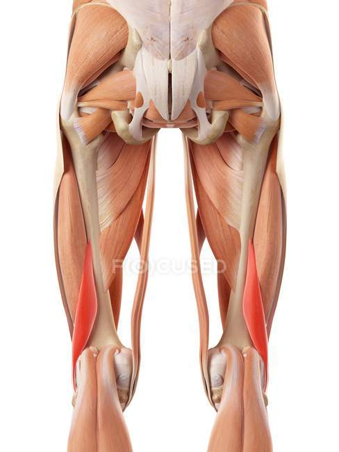 Human buttock muscles — Stock Photo | #160562352
