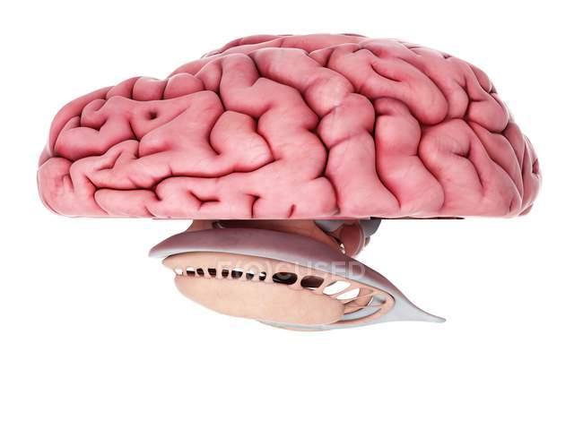 Анатомия человеческого мозга — стоковое фото