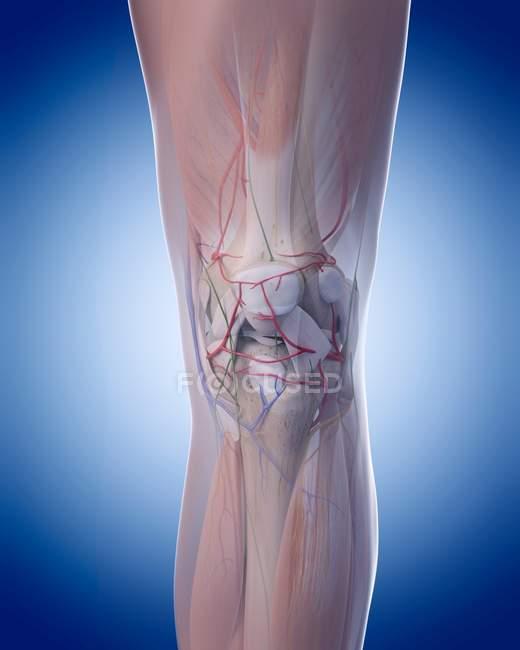 Human leg structural anatomy — Stock Photo