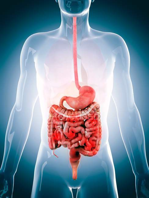 Gastrointestinal system of an adult — Stock Photo | #160563028