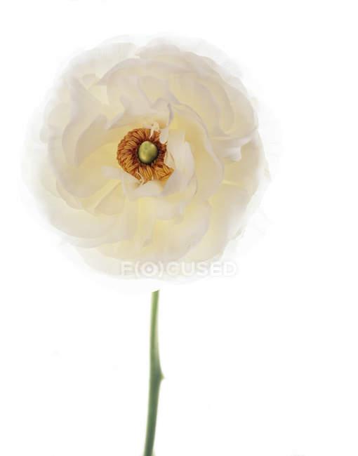 Primer plano del buttercup persa sobre fondo blanco . - foto de stock