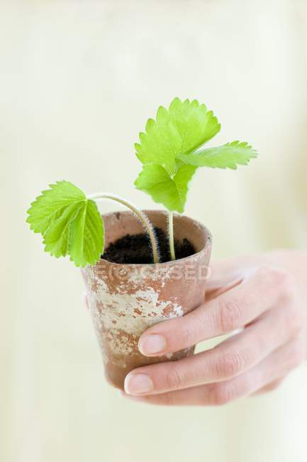 Gardener hand holding potted strawberry plant. — Stock Photo