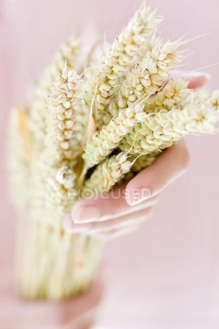 Pessoa mãos segurando espigas de trigo. — Fotografia de Stock