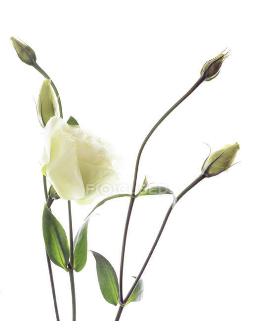 Крупный план белых лисианских цветов и бутонов . — стоковое фото