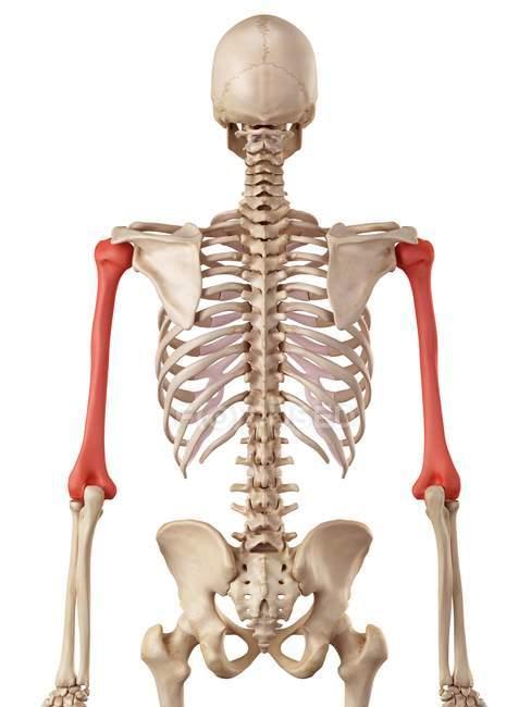 Estructura de huesos de húmero humano - foto de stock