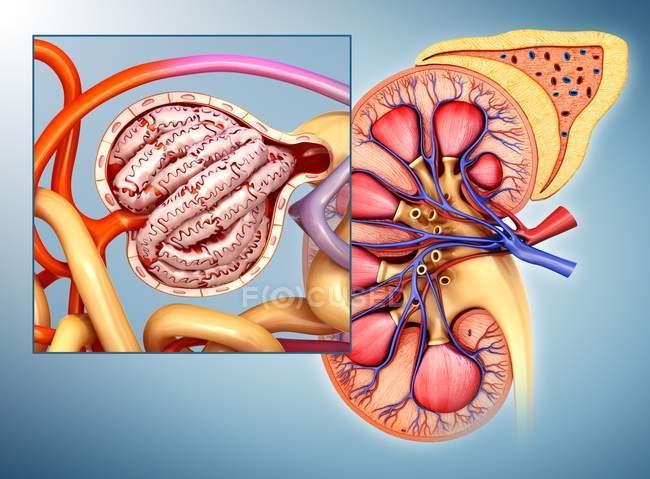 Strukturellen Anatomie der menschlichen Niere — Stockfoto | #160563510