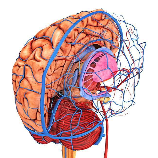 Brain blood supply — Stock Photo