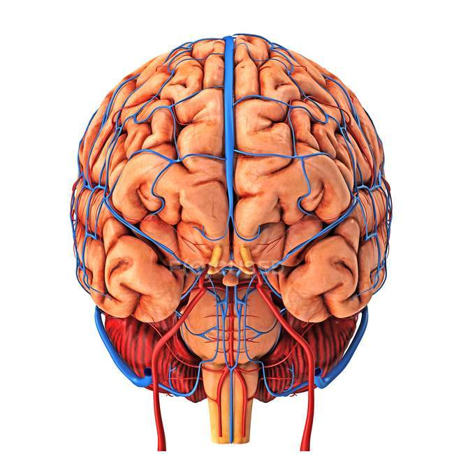 Brain's blood supply — Stock Photo