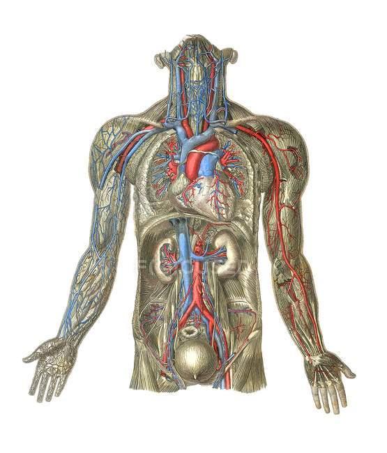 Анатомия человека структурных — стоковое фото