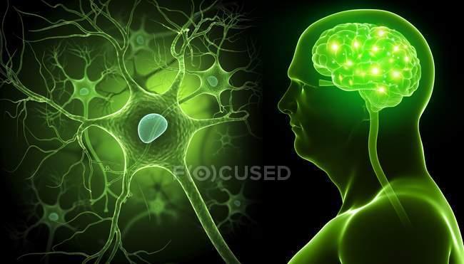Cerebro y células nerviosas - foto de stock