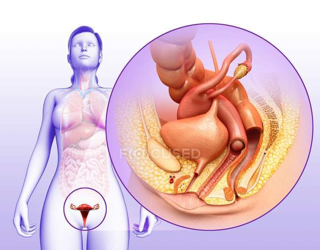 Sistema reproductor femenino - foto de stock