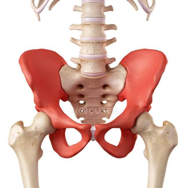 Anatomía de huesos de la cadera humana - foto de stock | #160564464