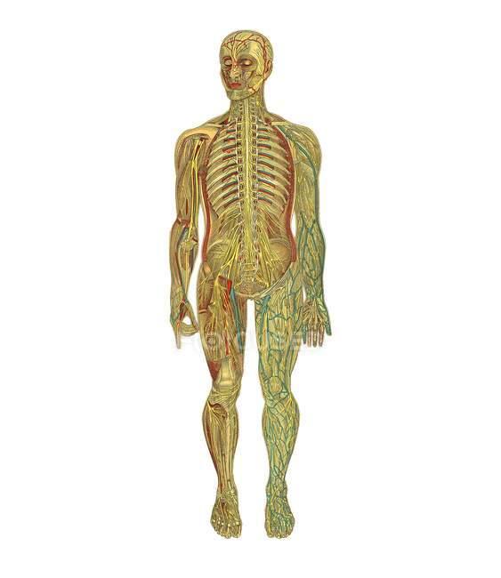 Representation of human anatomy — Stock Photo