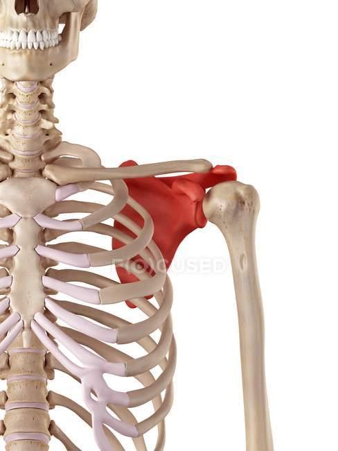 Human shoulder blade anatomy — Stock Photo | #160564640