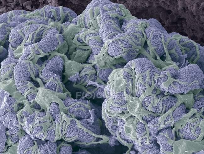 Glomérulo renal y células podocitarias - foto de stock