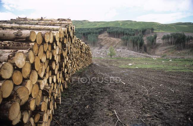 Bois récolté dans une plantation de conifères . — Photo de stock