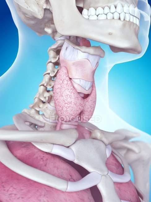 Anatomía de la laringe humana - foto de stock