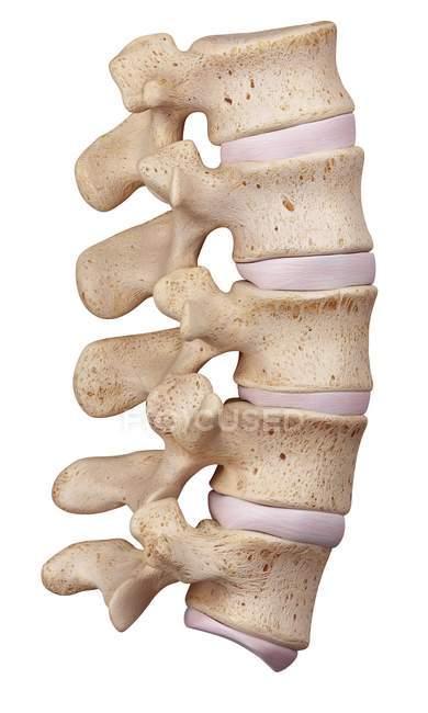 Anatomía estructural de la columna lumbar - foto de stock