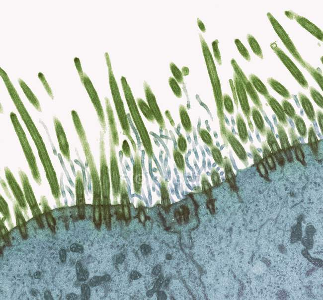 Cilia covering the epithelial lining of the nasopharyx — Stock Photo