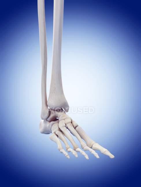 Menschlicher Fuß Knochen Anatomie — Stockfoto | #160565314