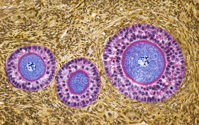 Ovarian cells section — Stock Photo