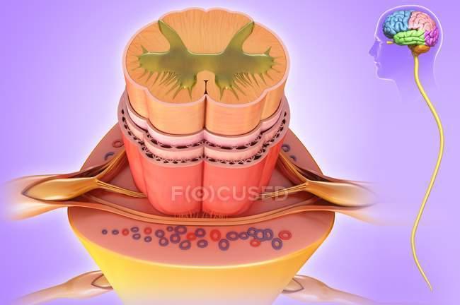 Anatomie de la moelle épinière — Photo de stock