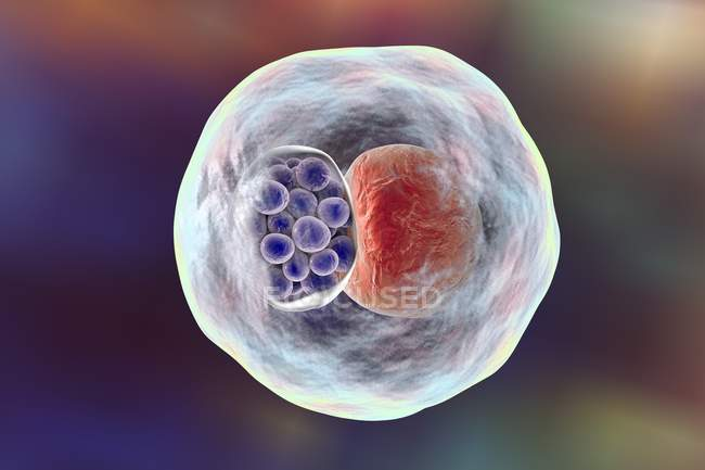 Chlamydia bacteria, illustration — Stock Photo