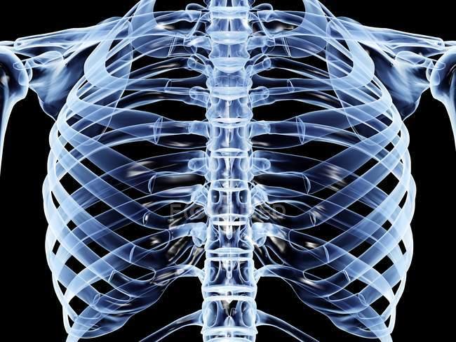 Gabbia toracica anatomia dell'essere umano adulto — Foto stock