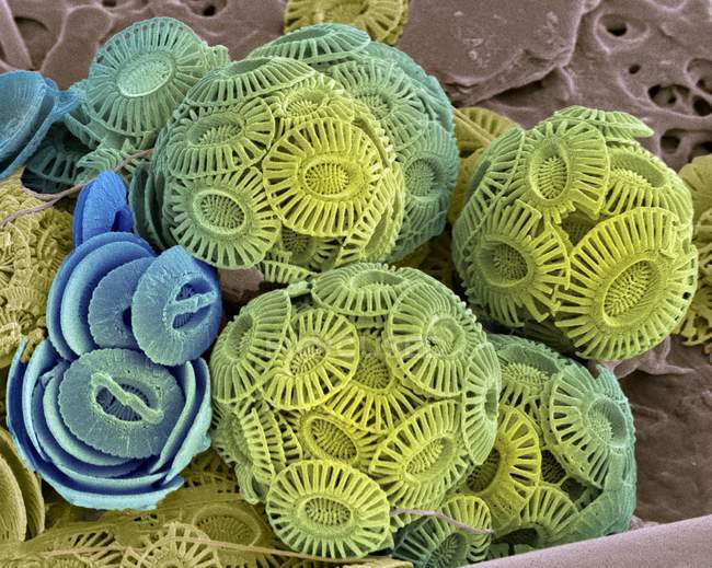 External mineralised structures of coccolithophores — Stock Photo