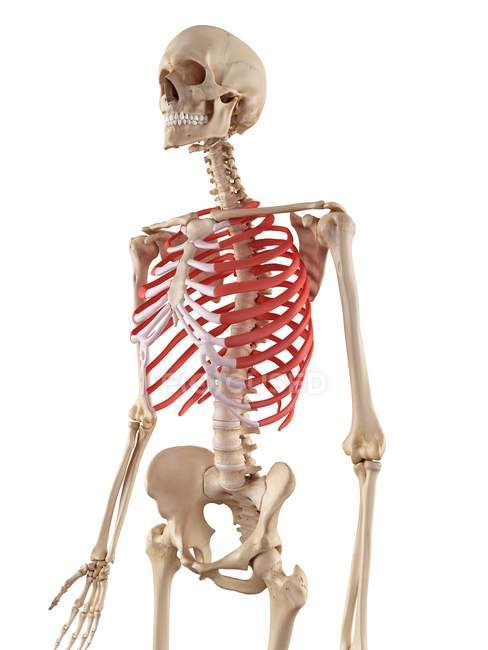 Human Rib Cage Anatomy Stock Photo 160566048