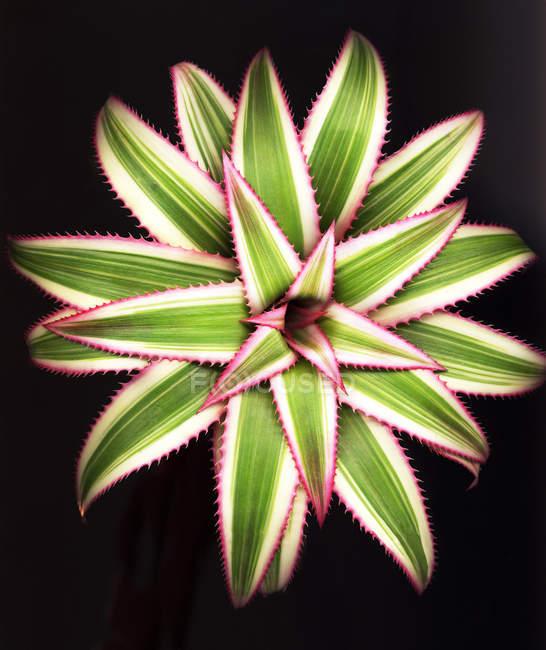 Закри агави рослина листя. — стокове фото