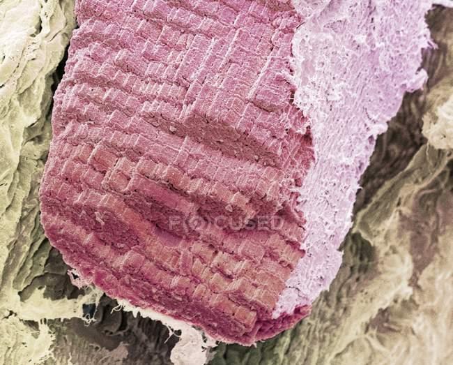 Micrografía electrónica de barrido coloreado (SEM) de una sección a través de una fibra muscular . - foto de stock